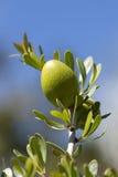 Plan rapproché d'une noix d'argan Photos stock