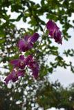 Plan rapproché d'une orchidée pourpre dans un jardin en Thaïlande Photo stock