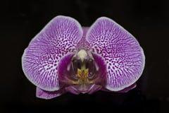 Plan rapproché d'une orchidée violette photographie stock libre de droits