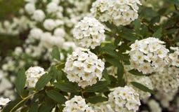 Plan rapproché d'une petite fleur blanche Image stock