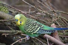 Plan rapproché d'une petite perruche verte se reposant sur des branches d'arbre en parc à Kassel, Allemagne photographie stock