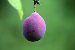 Plan rapproché d'une prune Photos libres de droits