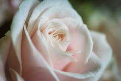 Plan rapproché d'une rose Image libre de droits