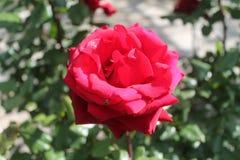 Plan rapproché d'une rose rouge avec une araignée minuscule photos libres de droits