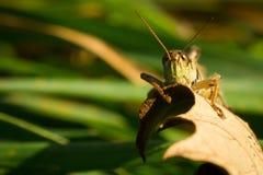 Plan rapproché d'une sauterelle Perchedvon une feuille Photographie stock libre de droits