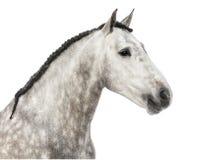 Plan rapproché d'une tête andalouse, 7 années, également connues sous le nom de cheval espagnol pur ou PRÉ Image libre de droits