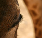 Plan rapproché d'une tête et d'un oeil du ` s de girafe Photos stock