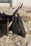 Plan rapproché d'une tête noire d'un yak sur la route d'amitié dans T Photo libre de droits