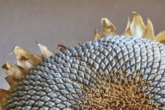 Plan rapproché d'une tête sèche de tournesol Photo stock