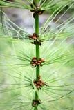 Plan rapproché d'une tige de pin avec des douzaines de coccinelles Photo libre de droits