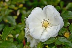 Plan rapproché d'une usine blanche de rose dans le jardin Images libres de droits