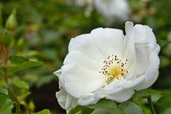 Plan rapproché d'une usine blanche de rose dans le jardin Images stock