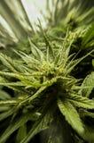Plan rapproché d'une usine de marijuana croissante image stock
