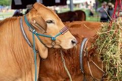 Plan rapproché d'une vache à exposition avant de juger photo stock