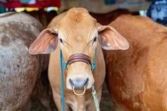 Plan rapproché d'une vache à exposition avant de juger image libre de droits