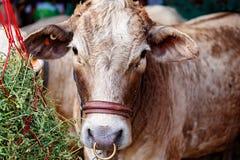 Plan rapproché d'une vache à exposition avant de juger photo libre de droits