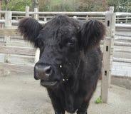 Plan rapproché d'une vache ceinturée par Galloway Photos stock