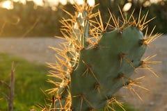 Plan rapproché d'usine de cactus avec la lumière chaude Image libre de droits