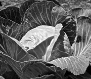 Plan rapproché d'usine de chou cabus en noir et blanc Images stock