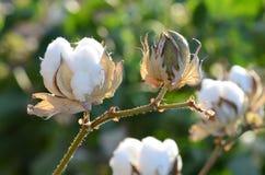 Plan rapproché d'usine de coton éclairé à contre-jour d'ici l'été chaud Sun photos libres de droits
