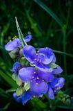 Plan rapproché d'usine de Spiderwort en pleine floraison Images stock
