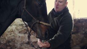 Plan rapproché, dans une écurie, courses d'un homme un museau d'un pur sang, cheval noir clips vidéos