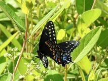 Plan rapproché de alimentation de papillon de machaon Photos libres de droits