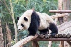Plan rapproché de bébé de panda Images libres de droits