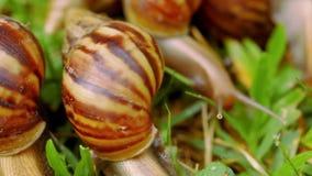 Plan rapproché de beaucoup rampant, aimant et mangeant des escargots clips vidéos
