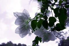 Plan rapproché de belles fleurs blanches Images stock
