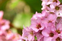 cordifolia de bergenia, fleur rose dans le jardin photo stock