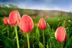 Plan rapproché de belles tulipes dans le domaine Image stock