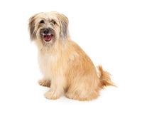 Plan rapproché de berger pyrénéen Dog Sitting Photographie stock