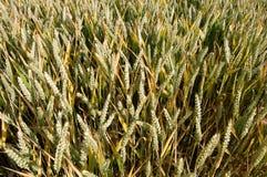 Plan rapproché de blé photo libre de droits