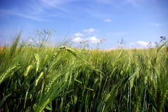 Plan rapproché de blé Photos libres de droits