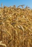 Plan rapproché de blé avec le fond naturel de ciel bleu Photos stock