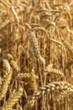 Plan rapproché de blé avec le fond naturel de ciel bleu Photos libres de droits