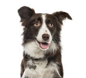 Plan rapproché de border collie, 15 mois d'ols, d'isolement Photos stock