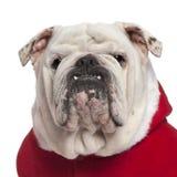 Plan rapproché de bouledogue anglais dans l'équipement de Santa Photographie stock