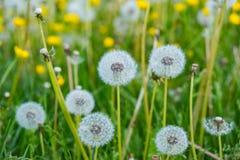 Plan rapproché de boules de pissenlit sur un champ vert Photographie stock