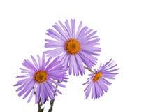 Plan rapproché de bouquet de fleur d'amellus d'aster Photographie stock