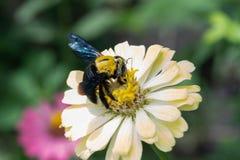 Plan rapproché de bourdon rassemblant le nectar d'une fleur de violacea de Zinnia Photographie stock libre de droits