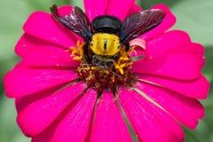 Plan rapproché de bourdon rassemblant le nectar d'une fleur de violacea de Zinnia Photos libres de droits