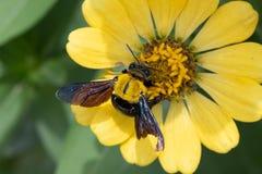 Plan rapproché de bourdon rassemblant le nectar d'une fleur de violacea de Zinnia Photos stock