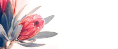 Plan rapproché de bourgeons de Protea Groupe de fleurs roses du Roi Protea au-dessus de blanc Bouquet de jour du ` s de Valentine photos stock