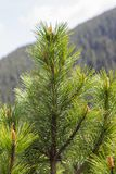 Plan rapproché de branche d'arbre sur un fond des montagnes Photos libres de droits