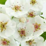 Plan rapproché de branche de fleur de poire sur le blanc Image stock