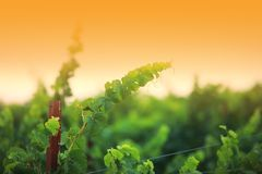 Plan rapproché de branchement de vigne photo stock