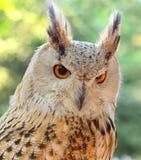 Plan rapproché de bubo d'Eagle-Owl Bubo d'Eurasien photos libres de droits