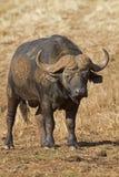 Plan rapproché de Buffalo Bull Photo stock